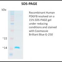 Recombinant-Human-PDGFB-Z100355-1