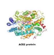 ace 2 protein