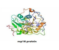 nsp16 protein